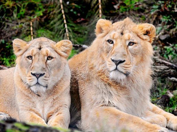 गिर राष्ट्रीय उद्यान, भारत का एकमात्र अनोखा जंगल जहां दहाड़ते हैं एशियाई शेर