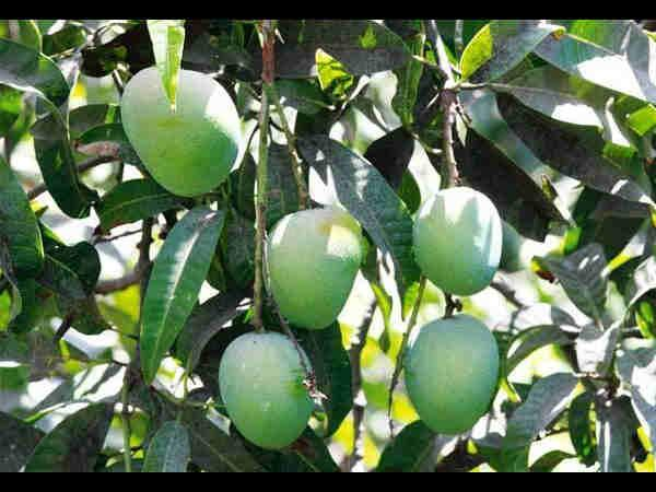 Aam Stays Are The Perfect Place Celebrate Your Love Mangoes