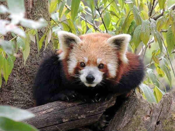 लाल पांडा देखना है..तो फ़ौरन पहुंचे दार्जलिंग जूलॉजिकल पार्क