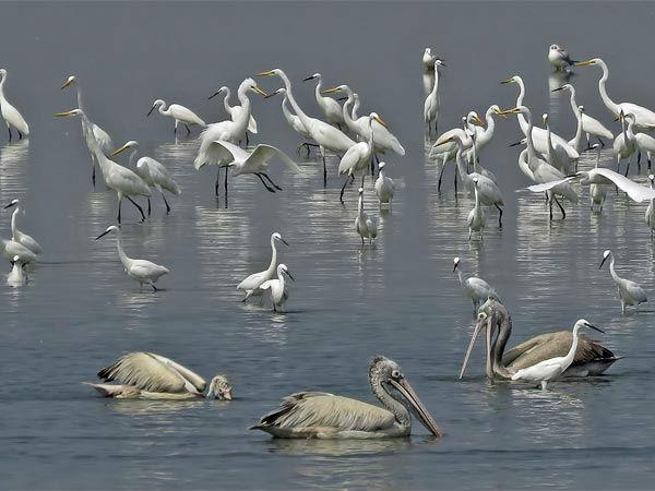 प्रवासी पक्षियों