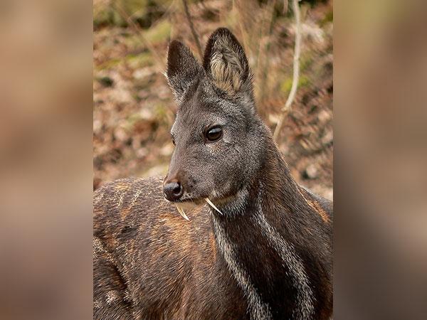 उत्तराखंड : इस दुर्लभ पशु की नाभि से बहती है सुगंधित धारा