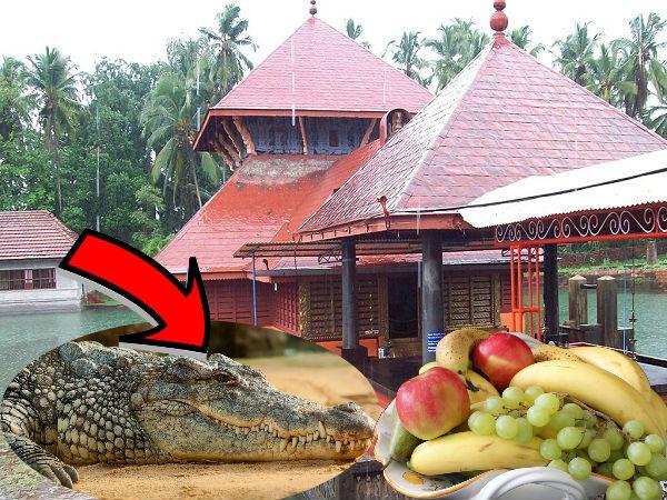 अद्भुत : केरल के इस मंदिर की रक्षा करता है एक शाकाहारी मगरमच्छ