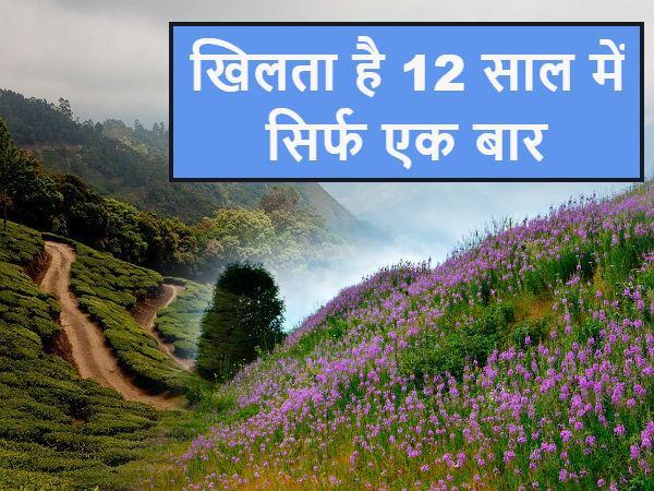 12 साल में एक बार खिलता है केरल का दुर्लभ नीलकुरिंजी फूल