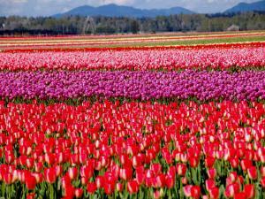 Places Visit Tulip Garden Srinagar