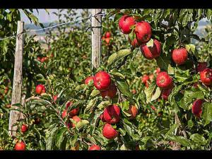 Apple Orchard Tour At These Places North India Hindi