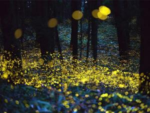 Best Places To Witness Fireflies Near Mumbai Hindi