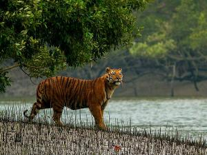Witness Bengal Tigers Galore At The Sundarbans National Park