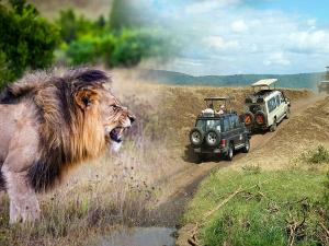 Lion Safari At Nahargarh Begin From October