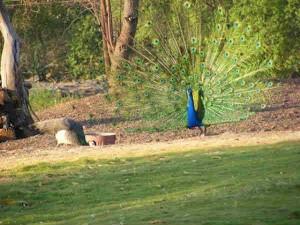 Morachi Chincholi The Town The Dancing Peacocks