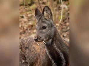Musk Deer Reserved Sanctuaries State Animal Of Uttarakhand Kasturi Mrig Hindi