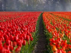 Tulip Festival 2018 Srinagar Kashmir Hindi
