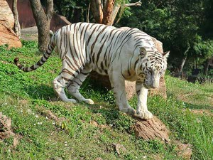 Travel These Places If You Desire Spot White Tigers Hindi